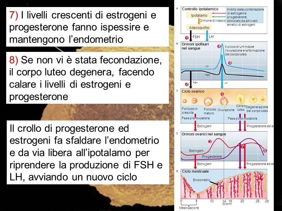 7) I livelli crescenti di estrogeni e progesterone fanno ispessire e mantengono l'endometrio