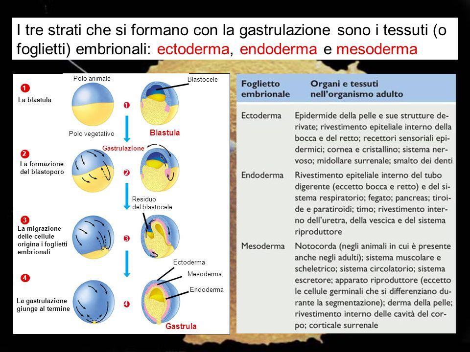 I tre strati che si formano con la gastrulazione sono i tessuti (o foglietti) embrionali: ectoderma, endoderma e mesoderma
