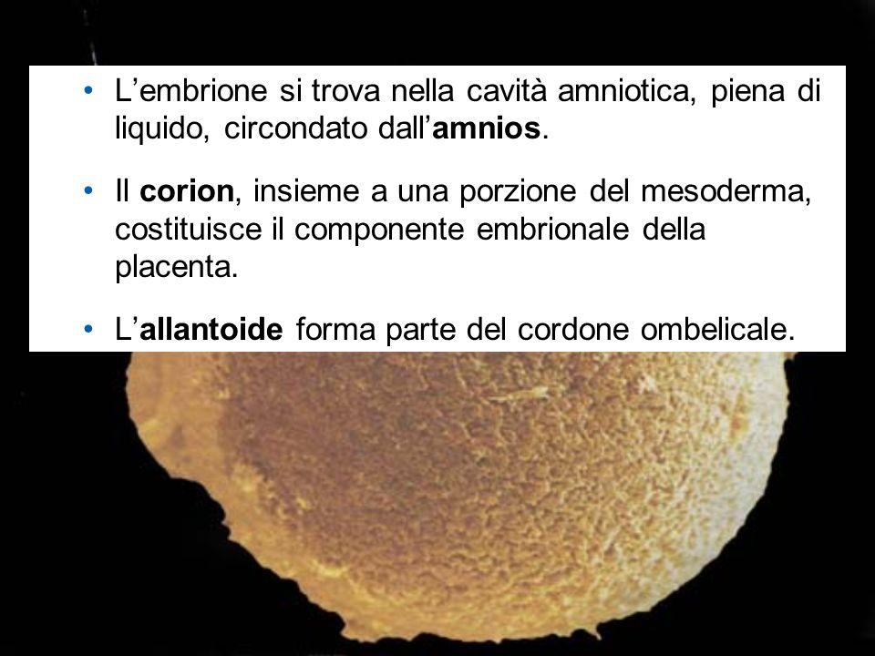 L'allantoide forma parte del cordone ombelicale.
