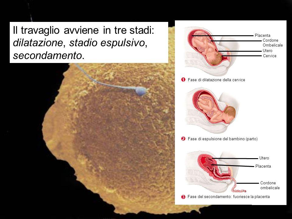 Il travaglio avviene in tre stadi: dilatazione, stadio espulsivo, secondamento.