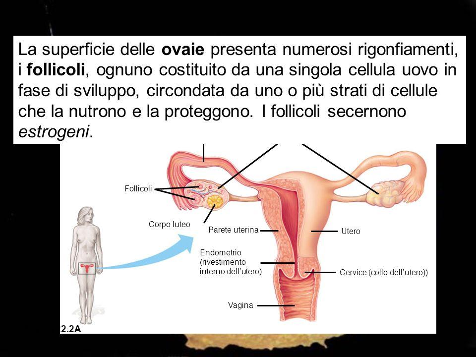 La superficie delle ovaie presenta numerosi rigonfiamenti, i follicoli, ognuno costituito da una singola cellula uovo in fase di sviluppo, circondata da uno o più strati di cellule che la nutrono e la proteggono. I follicoli secernono estrogeni.