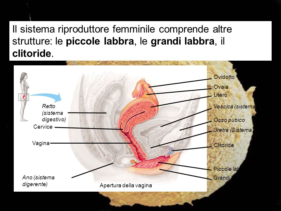 Il sistema riproduttore femminile comprende altre strutture: le piccole labbra, le grandi labbra, il clitoride.