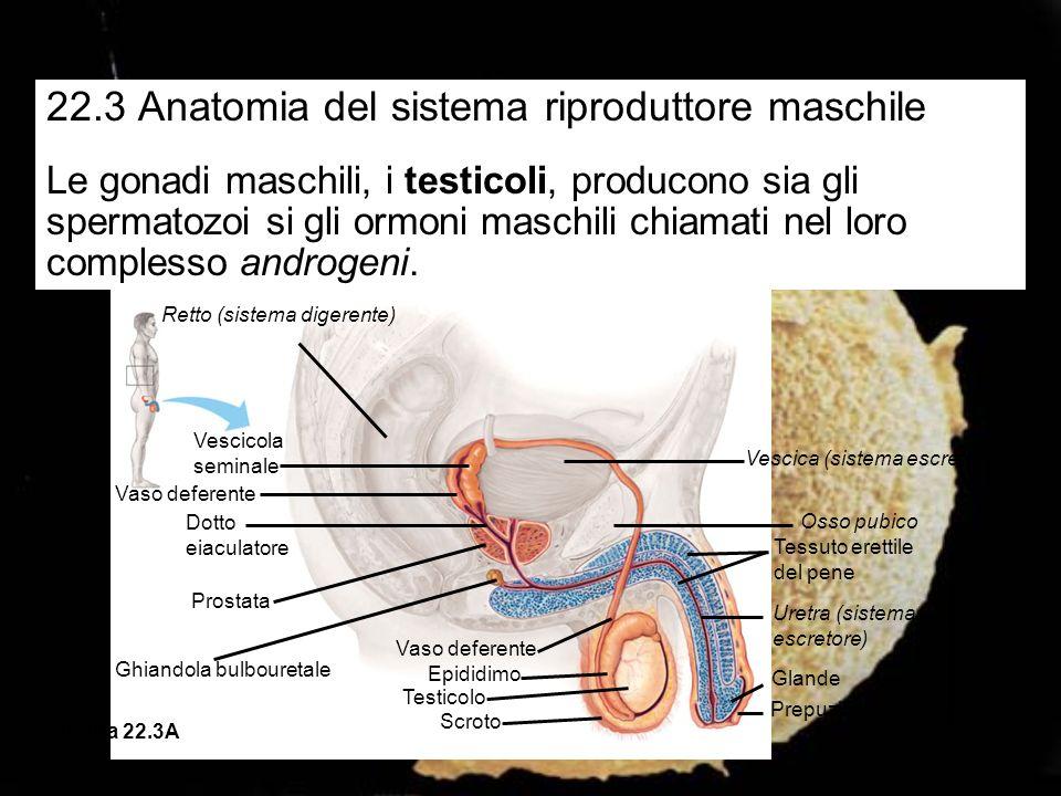 22.3 Anatomia del sistema riproduttore maschile