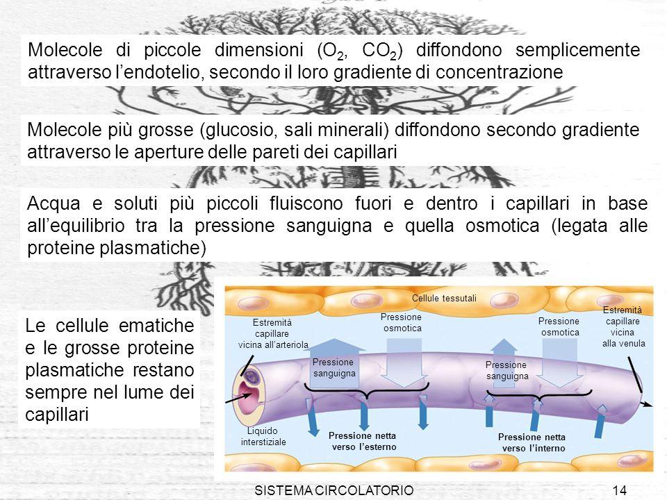 Molecole di piccole dimensioni (O2, CO2) diffondono semplicemente attraverso l'endotelio, secondo il loro gradiente di concentrazione