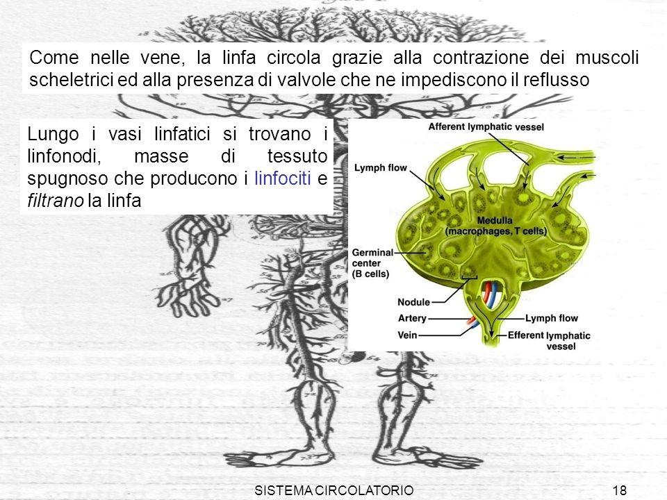 Come nelle vene, la linfa circola grazie alla contrazione dei muscoli scheletrici ed alla presenza di valvole che ne impediscono il reflusso