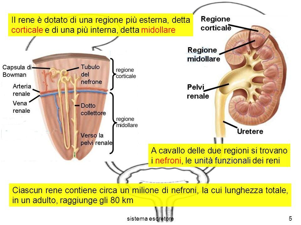 Il rene è dotato di una regione più esterna, detta corticale e di una più interna, detta midollare