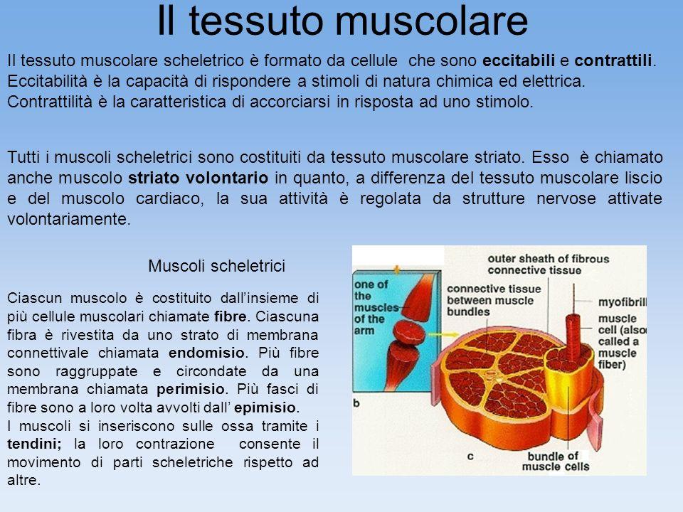 Il tessuto muscolare Il tessuto muscolare scheletrico è formato da cellule che sono eccitabili e contrattili.
