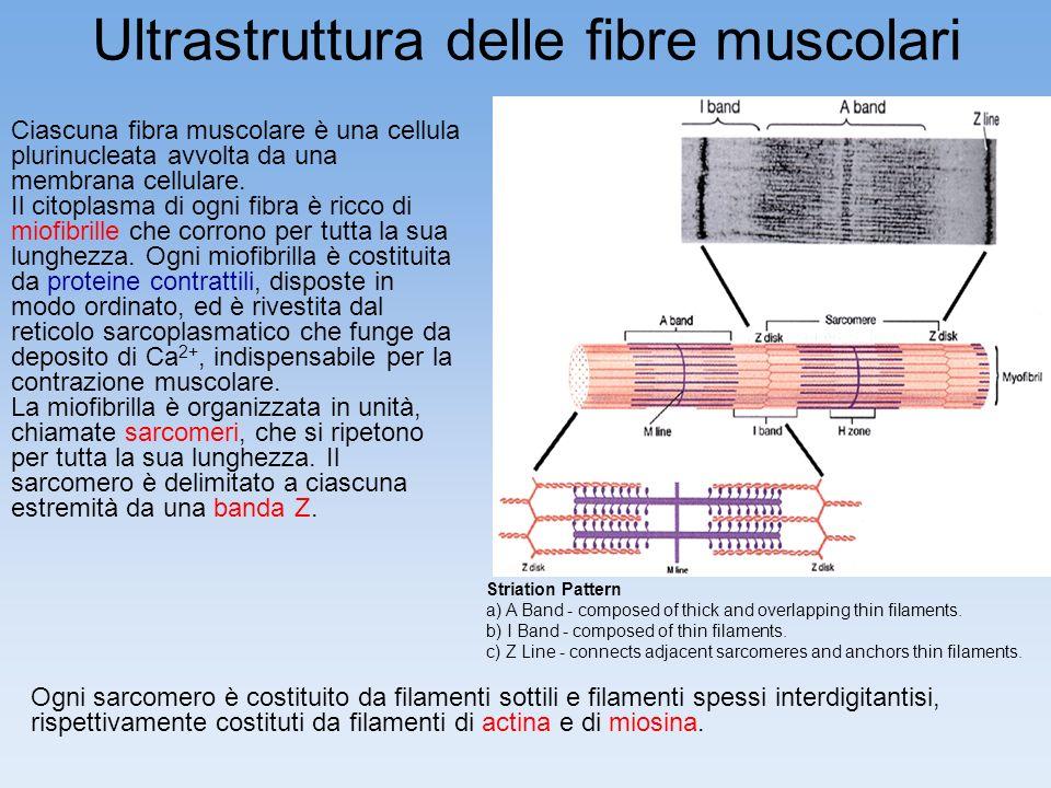 Ultrastruttura delle fibre muscolari