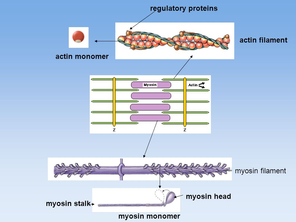 regulatory proteins actin filament. actin monomer.