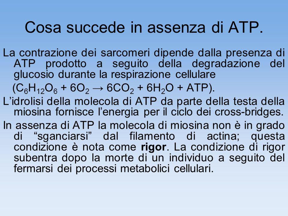Cosa succede in assenza di ATP.