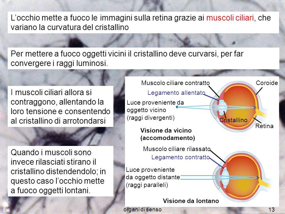 L'occhio mette a fuoco le immagini sulla retina grazie ai muscoli ciliari, che variano la curvatura del cristallino