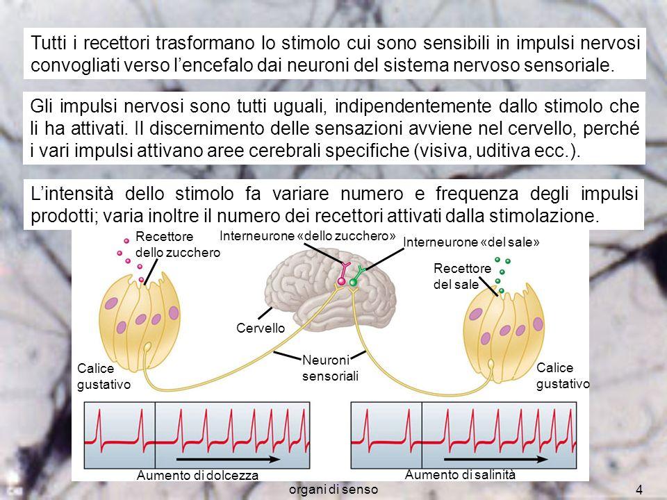 Tutti i recettori trasformano lo stimolo cui sono sensibili in impulsi nervosi convogliati verso l'encefalo dai neuroni del sistema nervoso sensoriale.