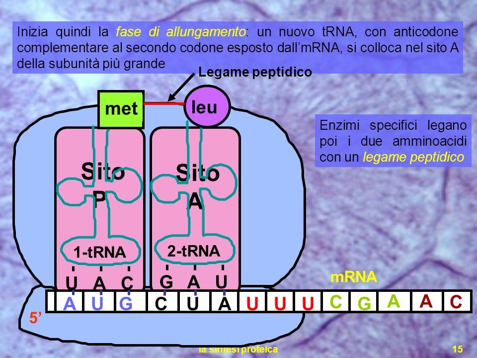 Sito Sito P A G leu A U U A C met A U G C U A U U U C G A A C 1-tRNA