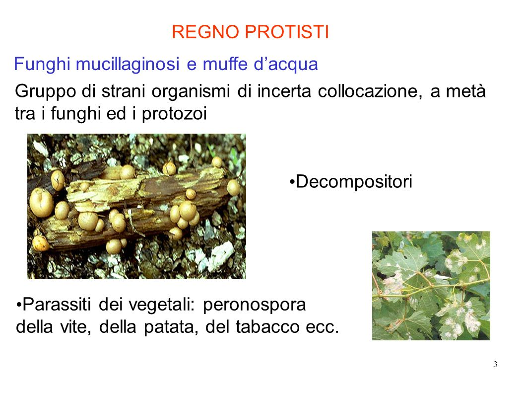 REGNO PROTISTI Funghi mucillaginosi e muffe d'acqua. Gruppo di strani organismi di incerta collocazione, a metà tra i funghi ed i protozoi.