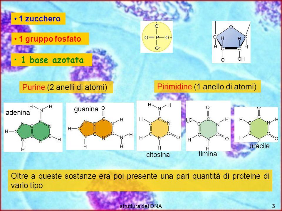 1 base azotata 1 zucchero 1 gruppo fosfato Purine (2 anelli di atomi)