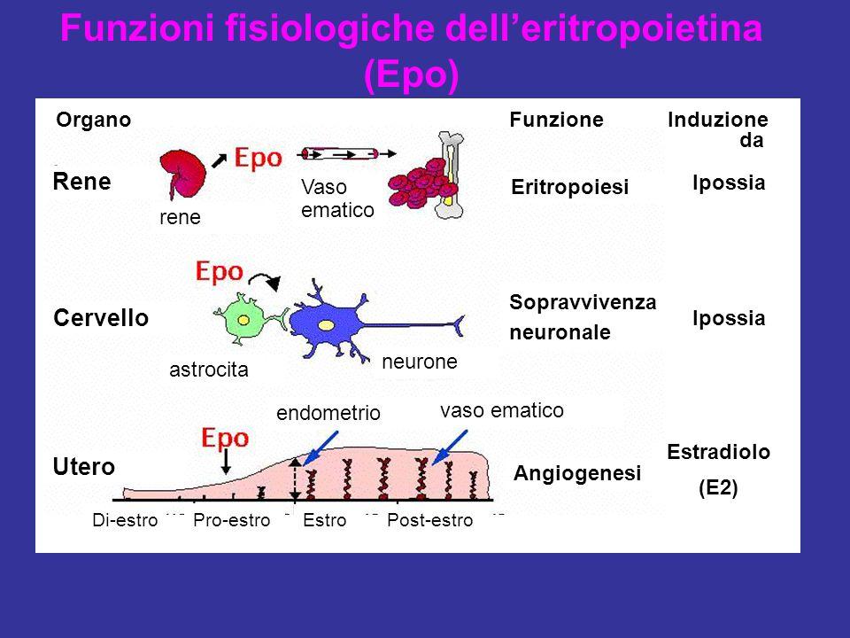 Funzioni fisiologiche dell'eritropoietina (Epo)