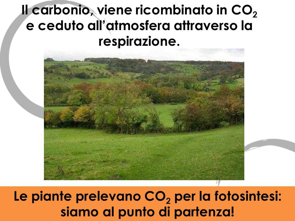Il carbonio, viene ricombinato in CO2