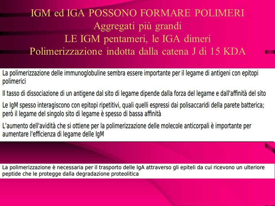IGM ed IGA POSSONO FORMARE POLIMERI Aggregati più grandi LE IGM pentameri, le IGA dimeri Polimerizzazione indotta dalla catena J di 15 KDA