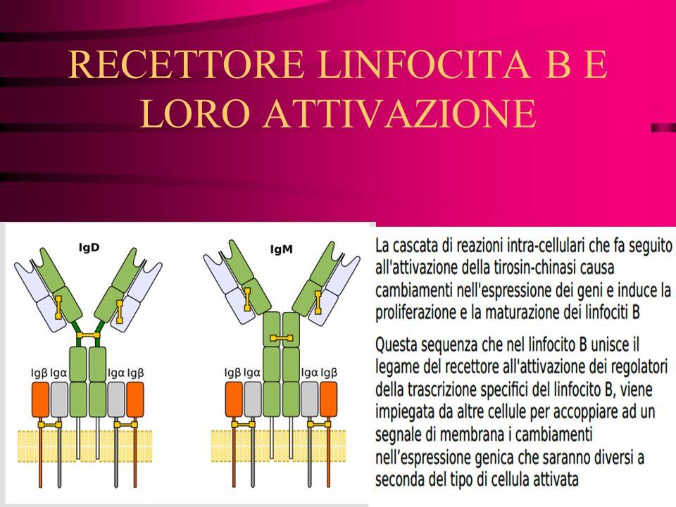 RECETTORE LINFOCITA B E LORO ATTIVAZIONE