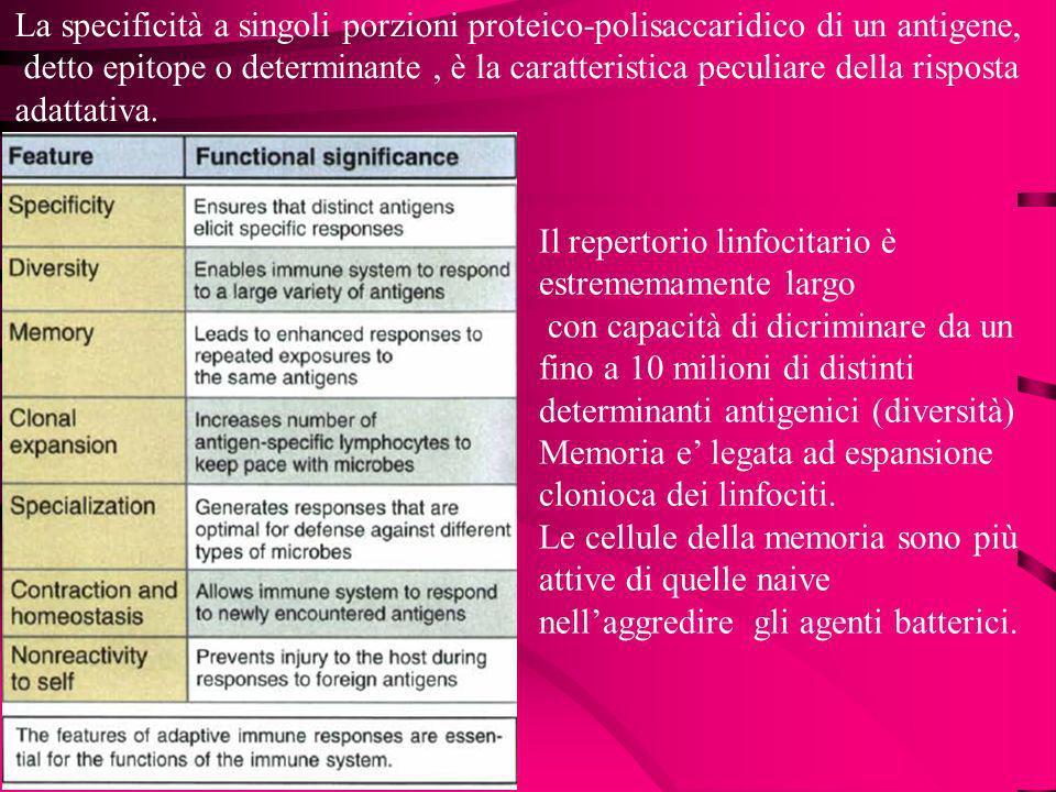 La specificità a singoli porzioni proteico-polisaccaridico di un antigene,