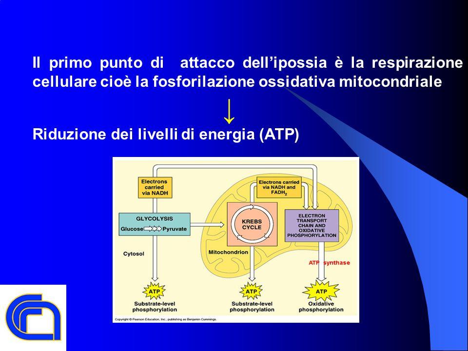 Il primo punto di attacco dell'ipossia è la respirazione cellulare cioè la fosforilazione ossidativa mitocondriale