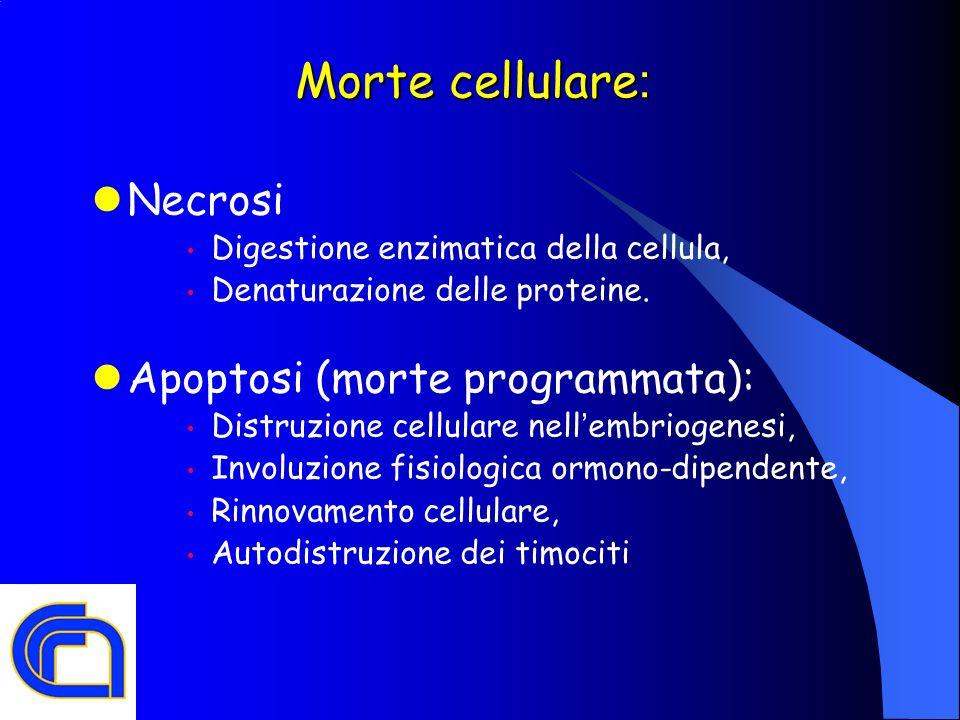 Morte cellulare: Necrosi Apoptosi (morte programmata):