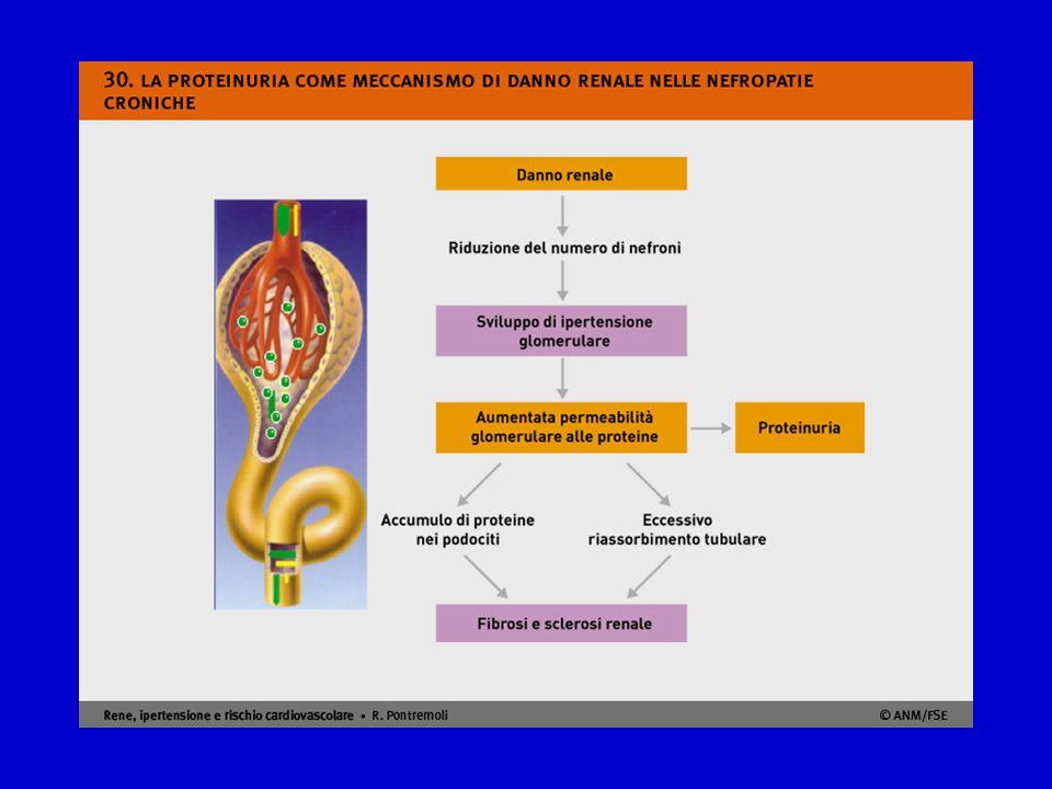 I meccanismi patogenetici che caratterizzano l'effetto nefrotossico della proteinuria sono stati studiati a livello sperimentale.