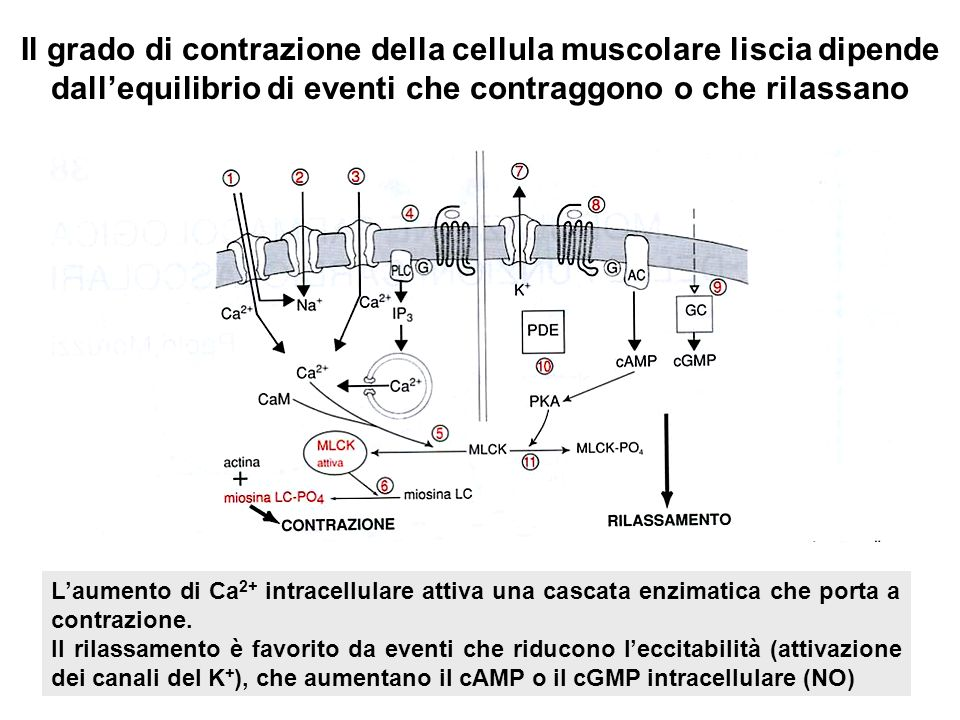Il grado di contrazione della cellula muscolare liscia dipende dall'equilibrio di eventi che contraggono o che rilassano