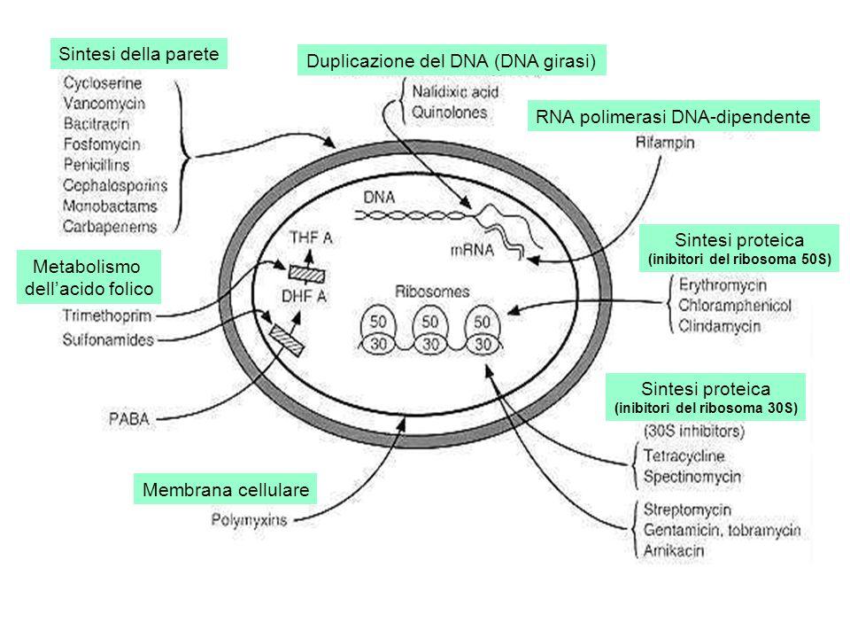 (inibitori del ribosoma 50S) (inibitori del ribosoma 30S)