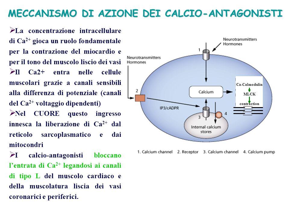 MECCANISMO DI AZIONE DEI CALCIO-ANTAGONISTI