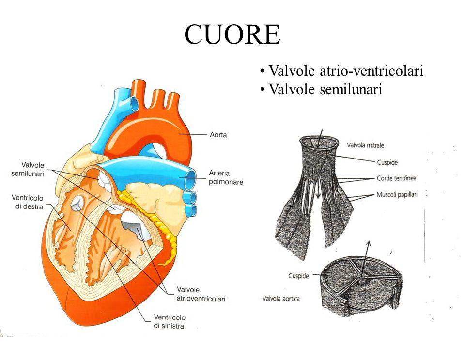 CUORE Valvole atrio-ventricolari Valvole semilunari
