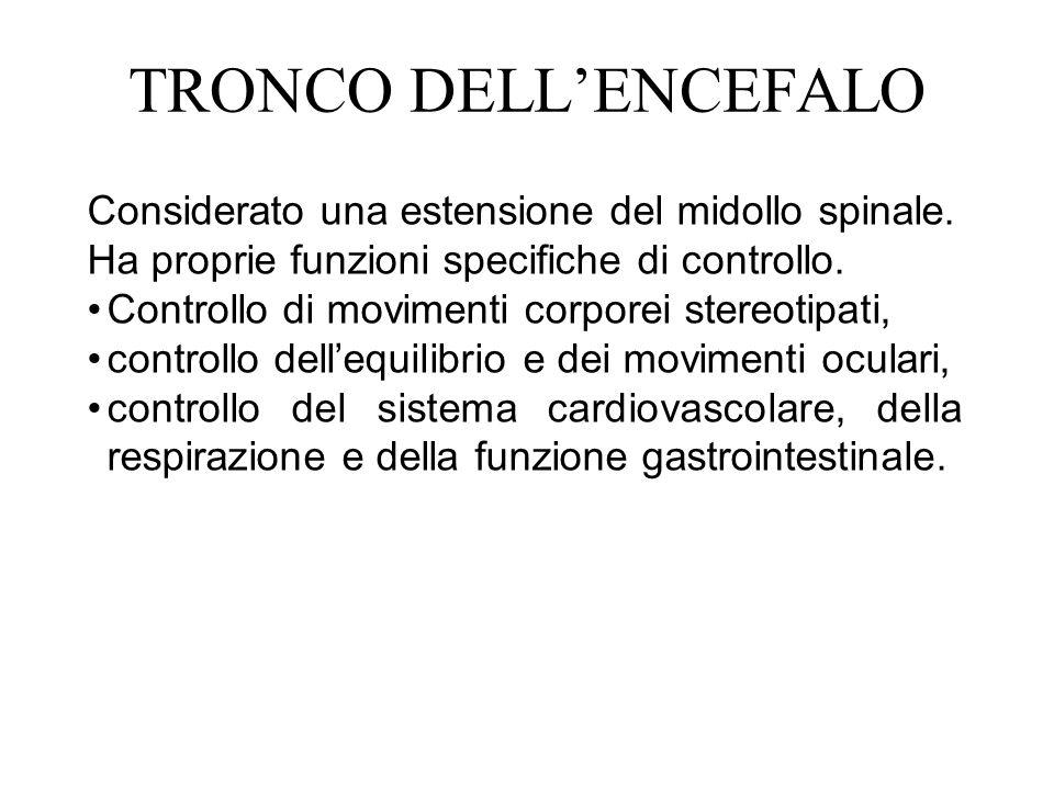 TRONCO DELL'ENCEFALO Considerato una estensione del midollo spinale.