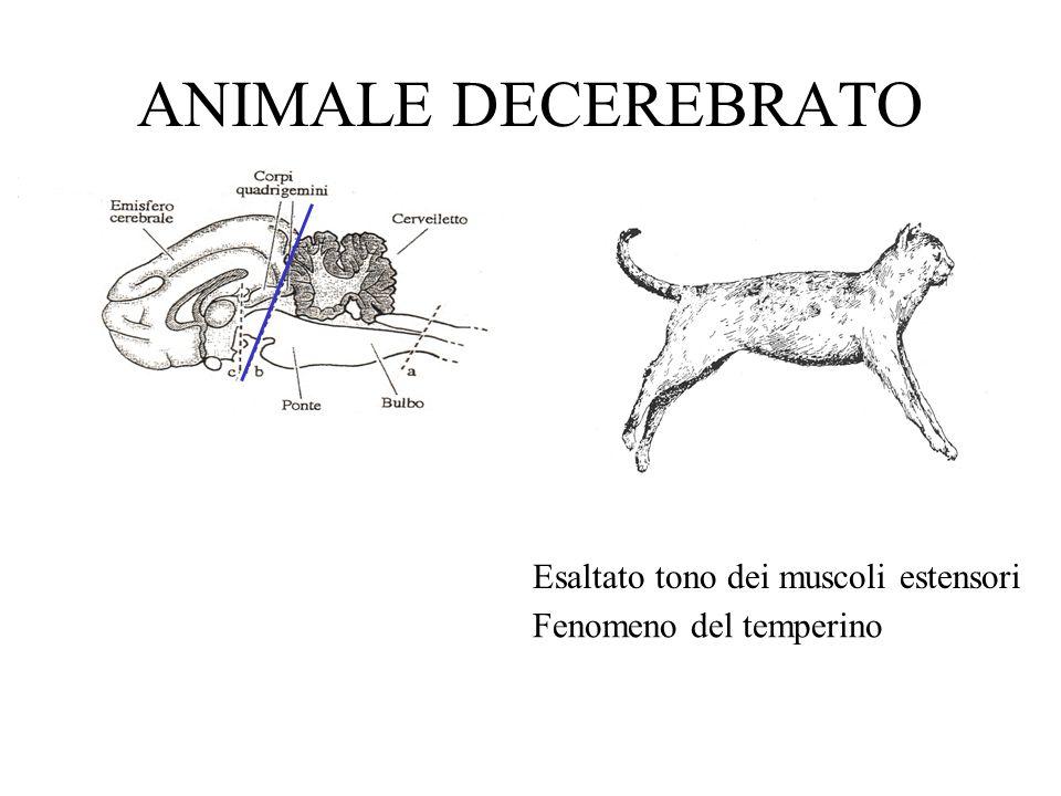 ANIMALE DECEREBRATO Esaltato tono dei muscoli estensori