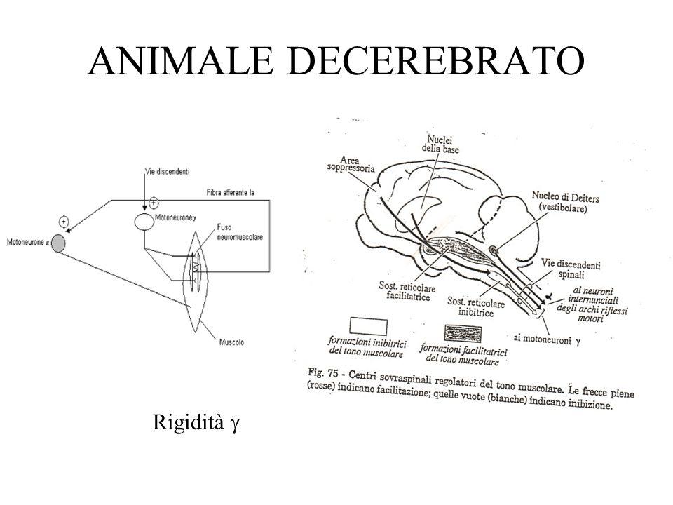 ANIMALE DECEREBRATO Rigidità g