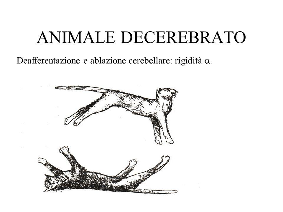 ANIMALE DECEREBRATO Deafferentazione e ablazione cerebellare: rigidità a.