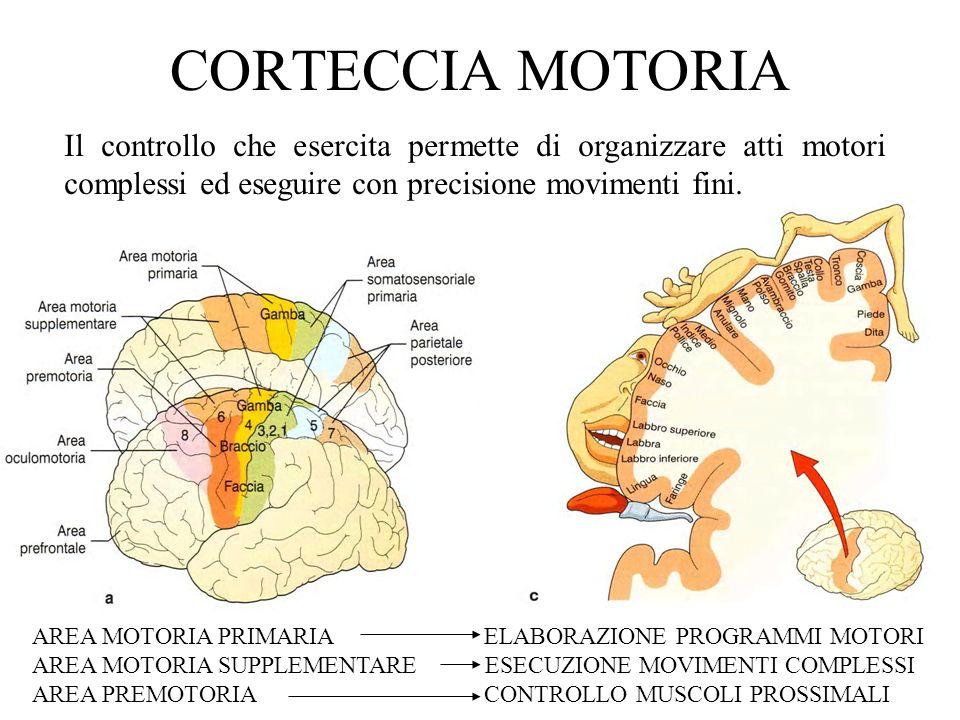 CORTECCIA MOTORIA Il controllo che esercita permette di organizzare atti motori complessi ed eseguire con precisione movimenti fini.