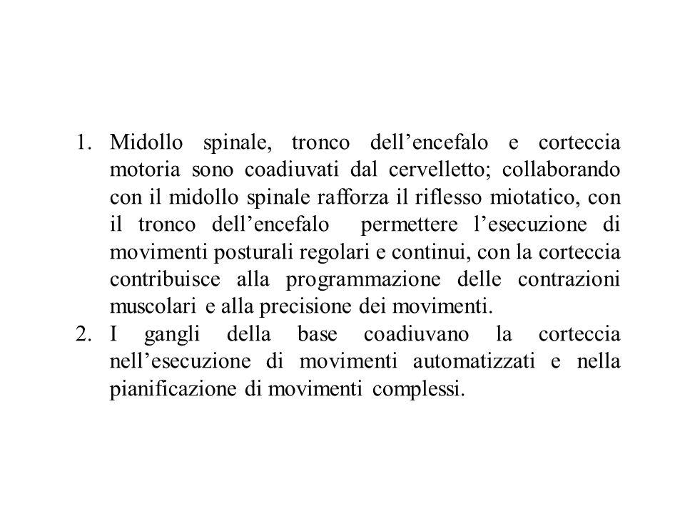 Midollo spinale, tronco dell'encefalo e corteccia motoria sono coadiuvati dal cervelletto; collaborando con il midollo spinale rafforza il riflesso miotatico, con il tronco dell'encefalo permettere l'esecuzione di movimenti posturali regolari e continui, con la corteccia contribuisce alla programmazione delle contrazioni muscolari e alla precisione dei movimenti.