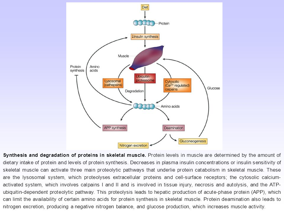 Synthesis and degradation of proteins in skeletal muscle