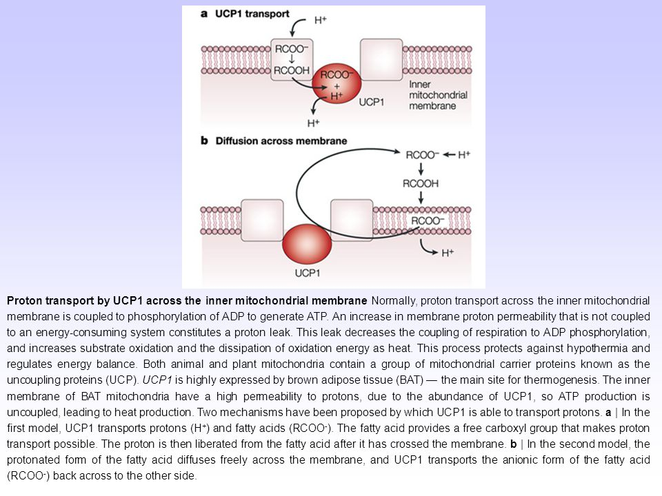 Proton transport by UCP1 across the inner mitochondrial membrane Normally, proton transport across the inner mitochondrial membrane is coupled to phosphorylation of ADP to generate ATP.