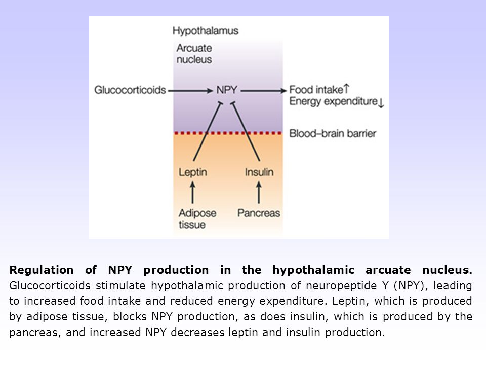 Regulation of NPY production in the hypothalamic arcuate nucleus