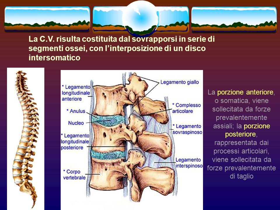 La C.V. risulta costituita dal sovrapporsi in serie di segmenti ossei, con l'interposizione di un disco intersomatico