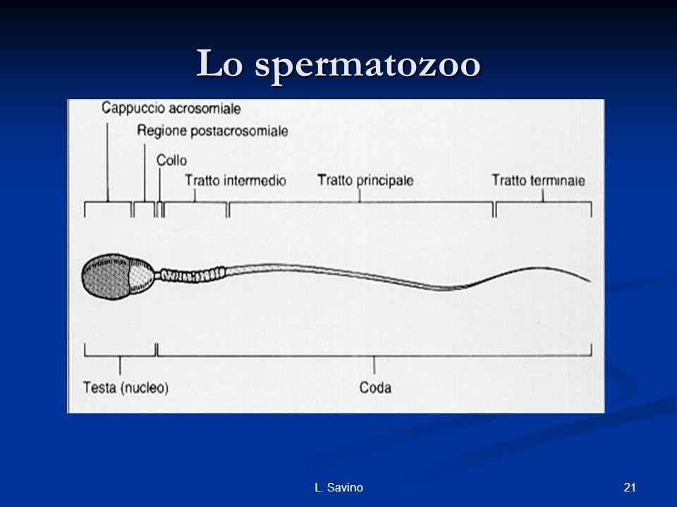 Lo spermatozoo L. Savino