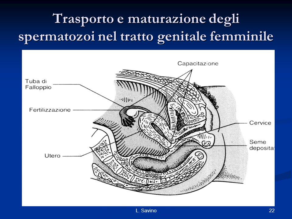 Trasporto e maturazione degli spermatozoi nel tratto genitale femminile