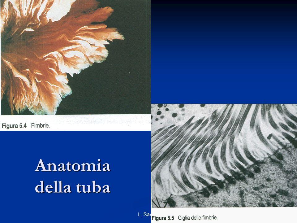 Anatomia della tuba L. Savino