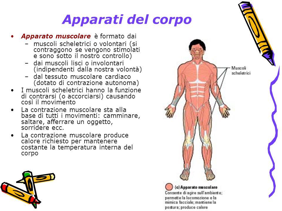 Apparati del corpo Apparato muscolare è formato dai