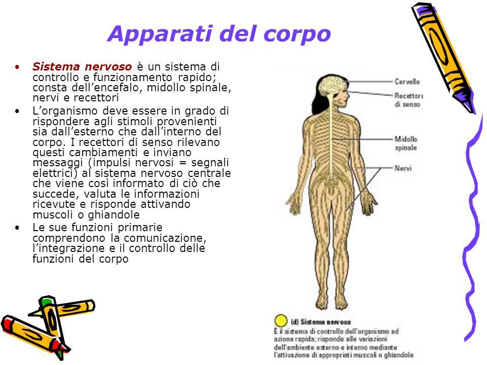 Apparati del corpo Sistema nervoso è un sistema di controllo e funzionamento rapido; consta dell'encefalo, midollo spinale, nervi e recettori.