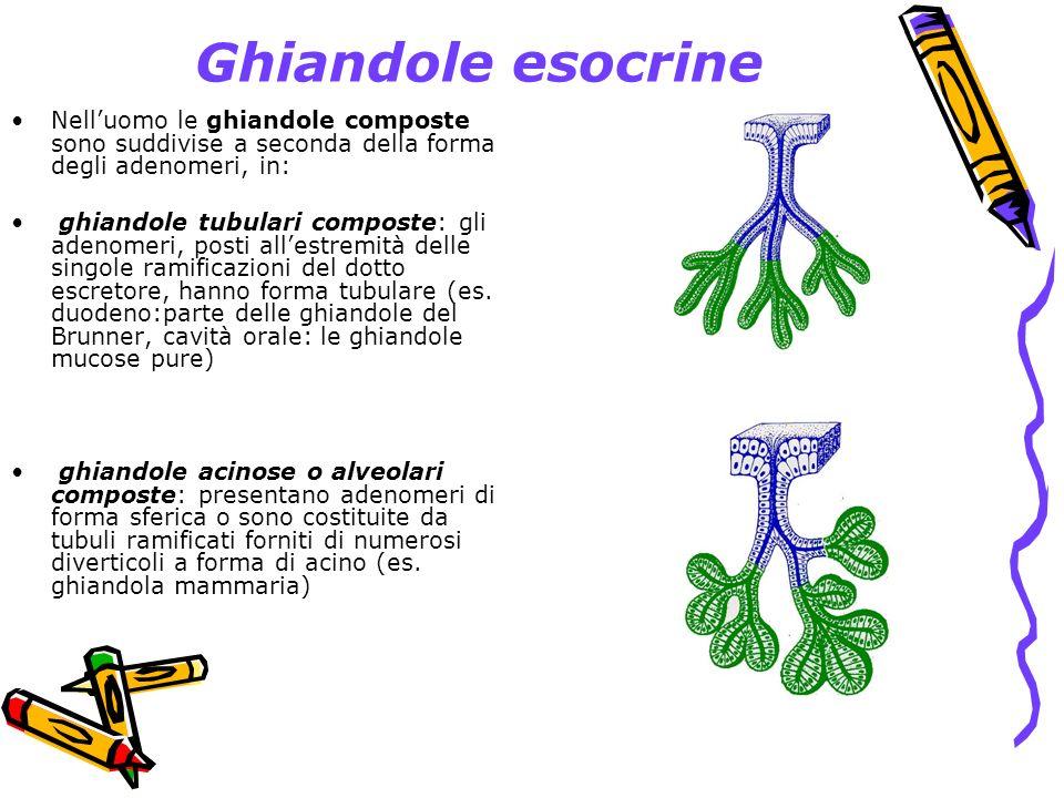 Ghiandole esocrine Nell'uomo le ghiandole composte sono suddivise a seconda della forma degli adenomeri, in:
