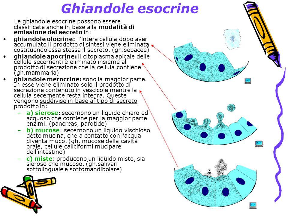 Ghiandole esocrine Le ghiandole esocrine possono essere classificate anche in base alla modalità di emissione del secreto in: