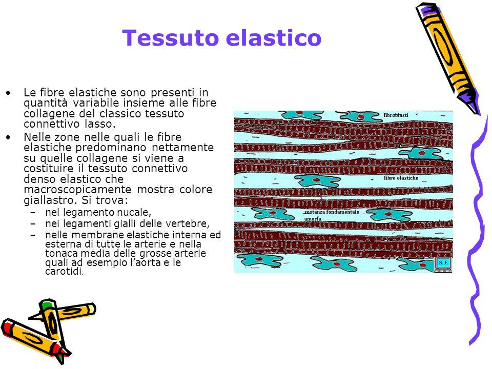 Tessuto elastico Le fibre elastiche sono presenti in quantità variabile insieme alle fibre collagene del classico tessuto connettivo lasso.