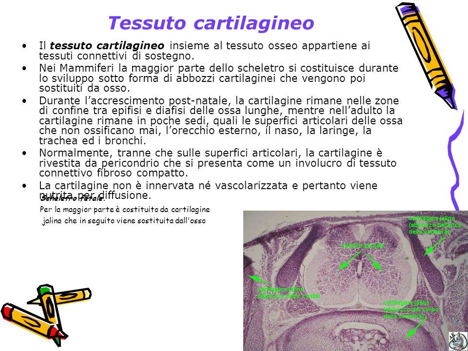 Tessuto cartilagineo Il tessuto cartilagineo insieme al tessuto osseo appartiene ai tessuti connettivi di sostegno.